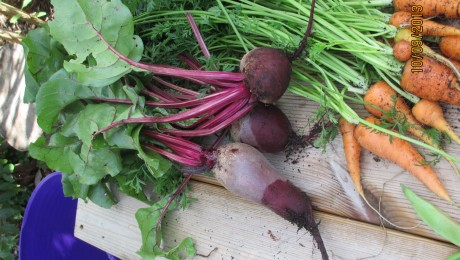 Organically grown beetroot and carrots.